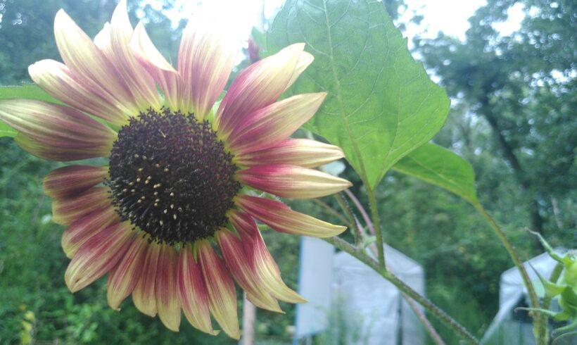 Des fleurs, des grimpantes, des poireaux et du millepertuis – les chemins de l'autonomie